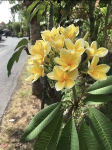 バリの道端に咲く黄色のプルメリア